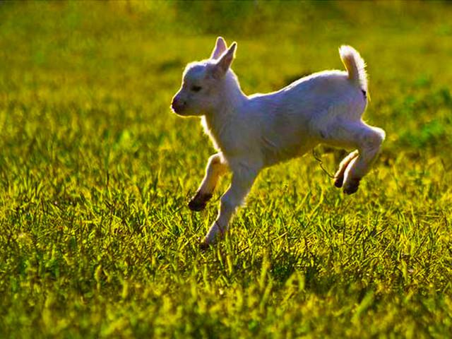 小羊羔 图片
