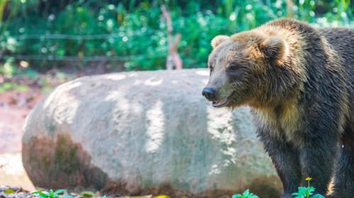 漫步着的棕熊
