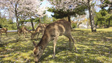 Deer And Cherry Of Nara Park