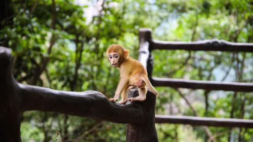 湖南张家界国家森林公园野生猴子