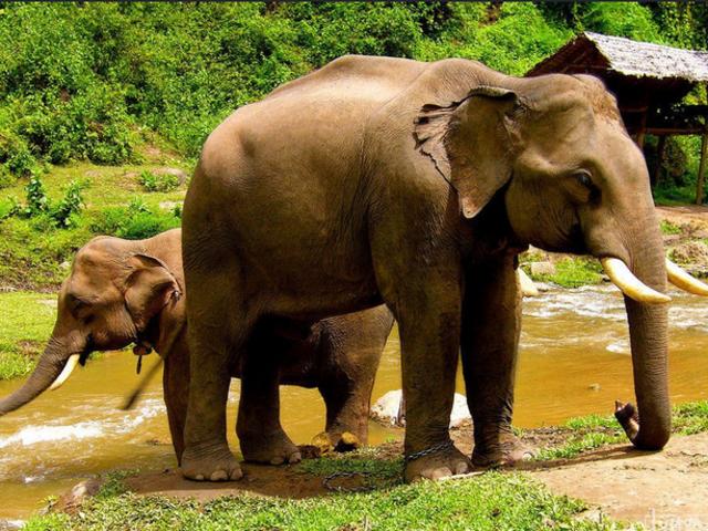 <【清迈美旺大象营半日游】>骑大象+喂大象+给大象洗澡半日游 多款项目竹筏 ATV可选