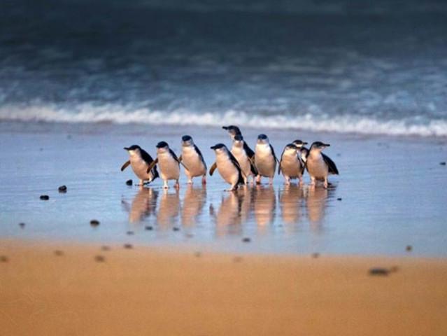 <墨尔本企鹅岛中文一日游>(下午出发+观看企鹅归巢+可选看台)