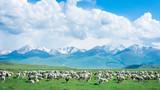 中國新疆獨庫公路路邊羊群與藍天白云草地