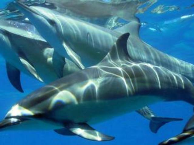 <毛里求斯追海豚观鲸鱼双鱼之旅半日游(在印度洋同时邂逅精灵和庞然大物)>海豚 观鲸 专业船队 惬意品牌
