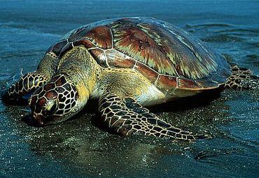 海龟精微素描步骤图