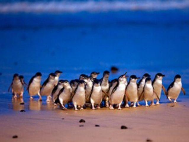 <澳大利亚墨尔本一日游>巧克力工场+考拉动物园+企鹅游行中文一日游