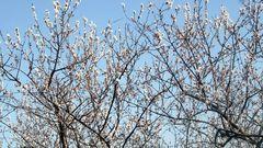 感受杏林春暖图片