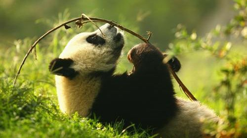 可爱的大熊猫