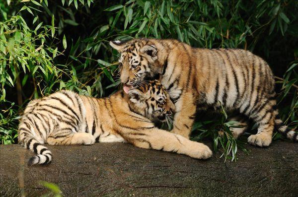 其中老虎bb最可爱,但是因为参观的人最多,所以一般需要排队.