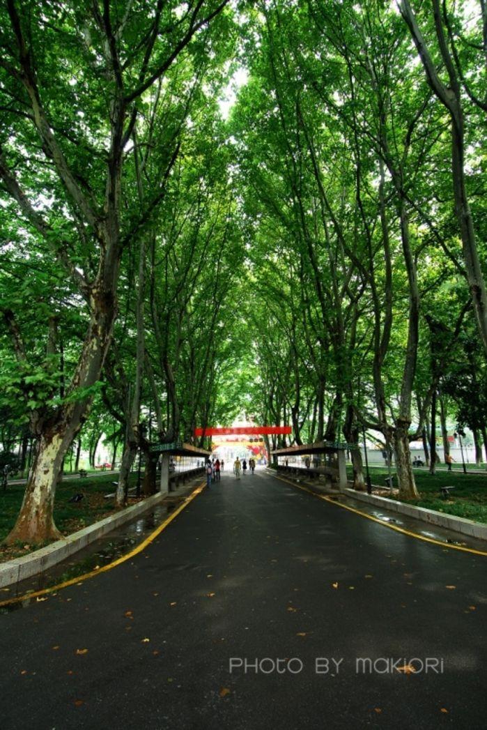 梧桐树是南京的标志之一……夏天绿树成荫