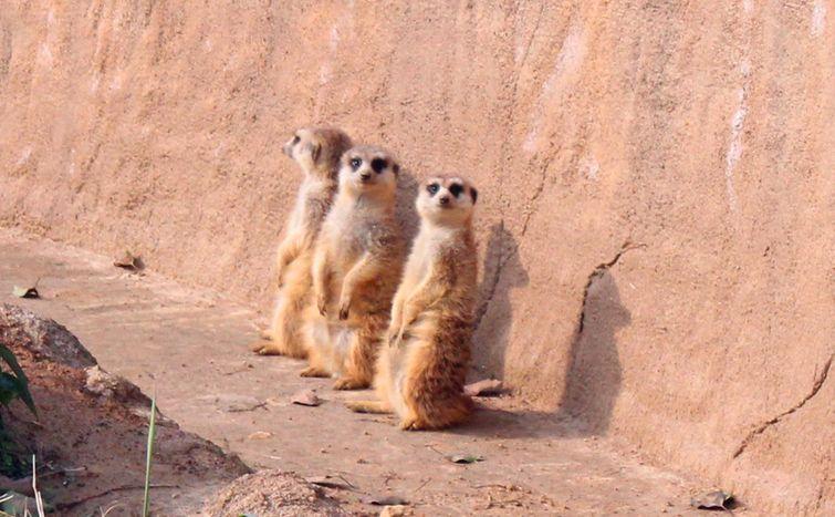 免费小火车自驾游欢乐更多 杭州野生动物世界自驾区是野生动物综合放养的大型观赏区。参照新加坡、南非等国外野生动物园的模式,充分体现人与自然,人与动物和谐共处的主题。车行区划分为澳洲荒野、藏北高原、猛兽区、亚洲草原和非洲原野等几大板(版)块,您可以根据需求乘坐园区免费观光小火车或者自驾车入园逐一观赏各种动物的英姿。那么接下来,让我们放慢脚步,与珍禽异兽来一次惊险刺激的邂逅!