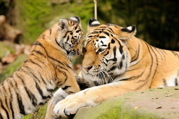 这里放养着除了国家一级保护动物东北虎之外,还有非洲狮,梅花鹿,熊