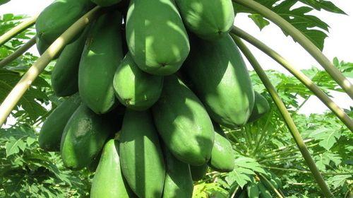 夏威夷木瓜