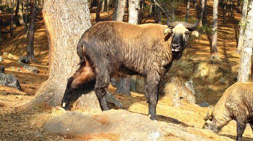之后前往【塔金小动物园】,参观不丹的国兽—塔金(takin),这种