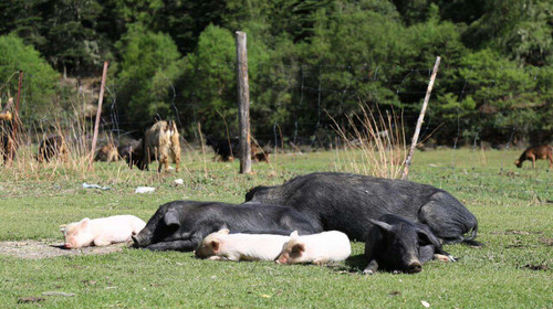民间动物立体造型猪