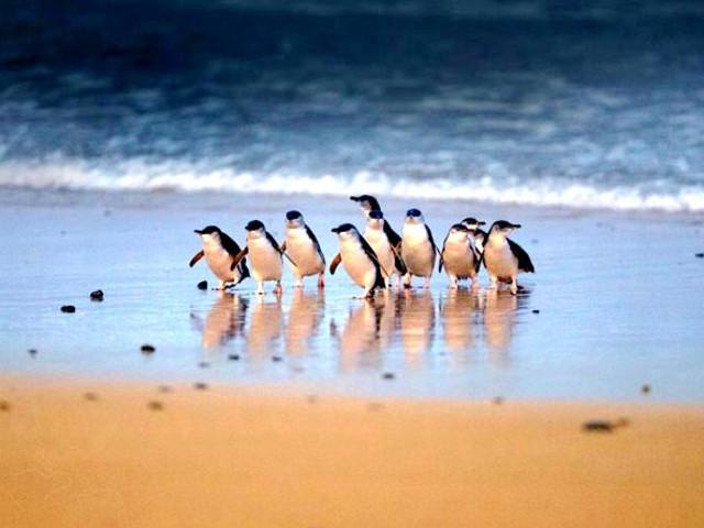 <墨尔本企鹅岛及野生动植物探险一日游 >(英文)