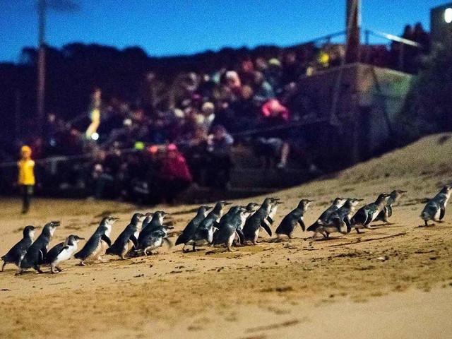 <墨爾本菲利普企鵝島企鵝歸巢門票>(多看臺可選)