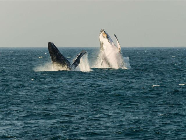 去赫曼努斯观看鲸鱼
