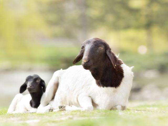购物篇•澳洲(1)绵羊油