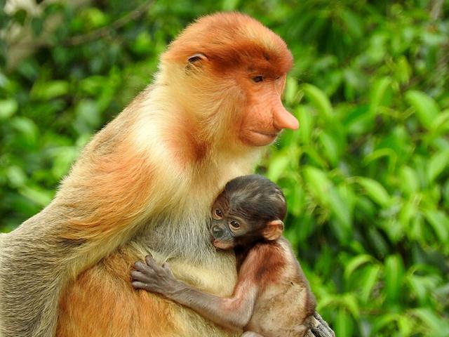 <沙巴韦斯顿红树林一日游【长鼻猴萤火虫+下午茶+落日】>