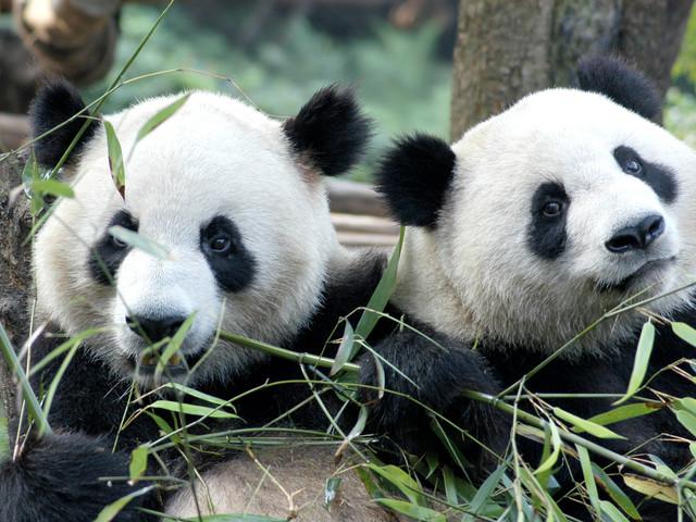 <成都熊猫基地门票 可选都熊猫基地+芙蓉国粹变脸套票>(会见盟主,喝盖碗  看川剧变脸秀体验慢生活)