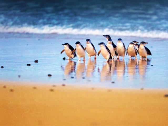 <澳大利亚墨尔本企鹅岛+蒸汽火车中文小团一日游>企鹅岛企鹅归巢/蒸汽小火车/精品小团/大巴接送
