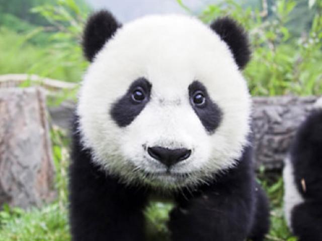 <成都大熊猫基地-都江堰景区1日游>8点发团0购物,25人小团,四川印象特色餐,亲子同乐,无登山劳苦,3环接