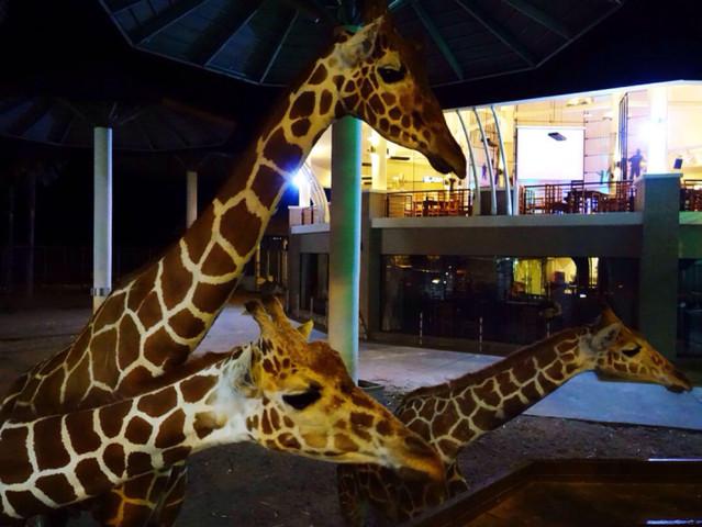 <【清迈夜间动物园】>多种套餐可选,可含自助餐 、中文导游 泼水节期间(4.12-4.15)无法酒店接送需要到指定地点集合