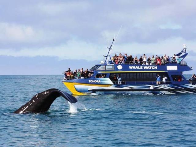 <新西兰-南岛-基督城-凯库拉-观鲸海钓钓龙虾-包车一日游>龙虾鲍鱼 海钓观鲸美味惊喜之旅 毛皮海狮近距离接触 当地公司直营 可接急单