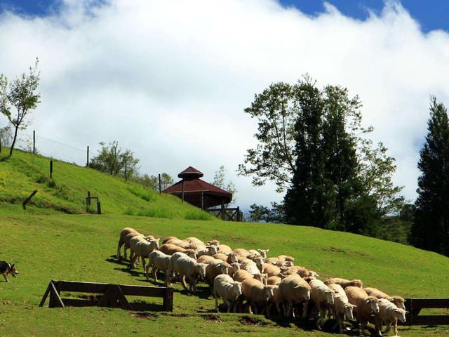 <台湾清境农场牧羊人体验半日游> 放羊赶羊体验  绵羊导览  置放饲料与绵羊互动